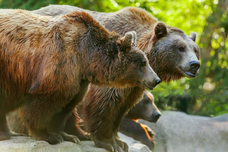 Grizzly brown bear with another bears, in profile, sideview photo