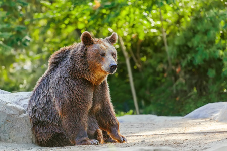 Grizzly brown bear seating in forest photo