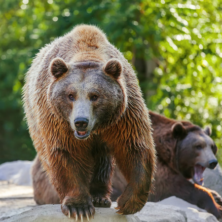Grizzly brown bear looking forward, front view Stock Photo