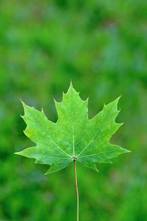Green Maple Leaf photo