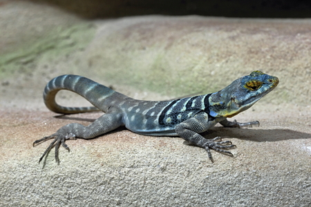 Colourful Lizard in the Wood photo