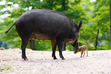 Wilds animals captured in the Canadian countryside - Wild pigs photo