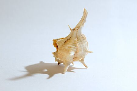 seastar: sea shell on white background.