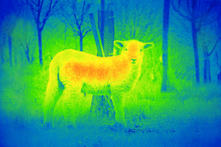 Photo shows young white sheep in the green park by a thermal camera. photo