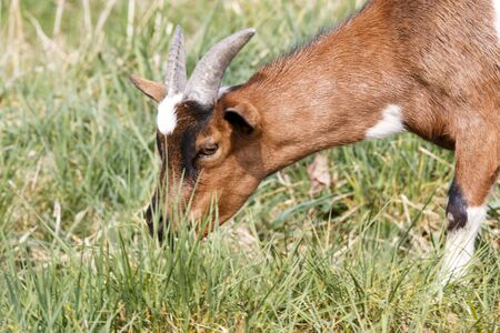 brown goat: This photo shows close-up of eating white brown goat in the middle of green grass. Picture was taken during a sunny day.