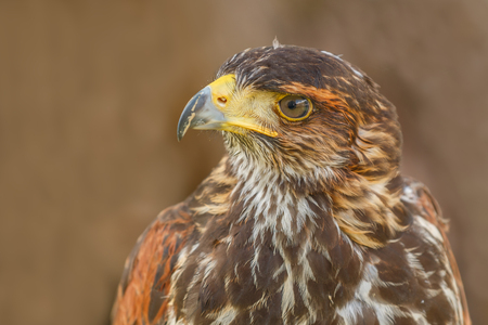 Photo shows close-up of mighty brown eagle in summer.