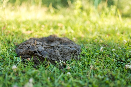 Cow dung at the garden, manure on the grass. Ukraine Stock Photo