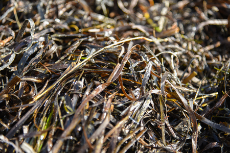 typical: Zostera marina is seaweed, rich in iodine and other beneficial minerals, therapeutic effect. Other names are common eelgrass, seawrack Stock Photo