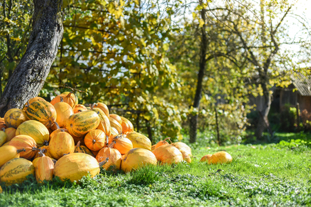 calendario octubre: Harvest of pumpkins in the yard, life in the village, Ukraine