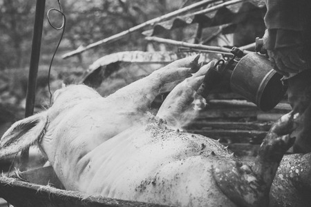 burned out: Butcher handles the slaughtered pig with blowtorch, hair removal, preparation to cutting, retro effect, Western Ukraine