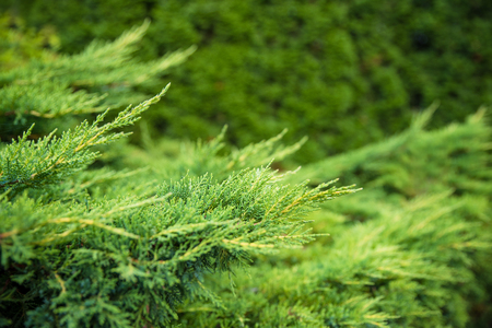 Landscaping, thuja fence, thuja tree branches closeup, background with copyspace for the text