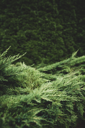 Landscaping, thuja tree branches. Gardening services, background with copy space for text, matte toning Foto de archivo