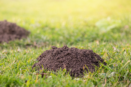 Molehills. Damaged lawn it is result of European Mole activity. This pest is also known as Talpa Europaea. Copy space for text Stockfoto