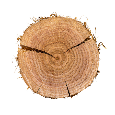 Cross section of oak tree. Annual rings on surface and detailed texture, isolated on white background, sample