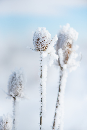 Snowy dry thistle plant. Nature in winter.