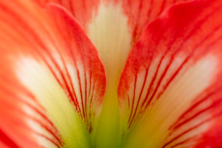 Petals of Hippeastrum hybrid flower, macro view. Natural colorful background.