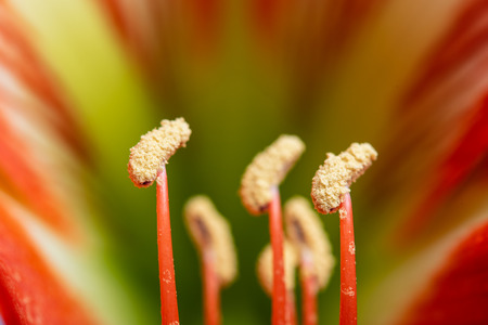 Macro view of Hippeastrum hybrid. Flower filaments, anthers and petals.