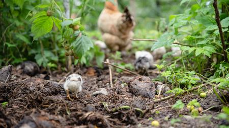 Little chicken catch up with the brood. In the garden. Life in the village, Ukraine