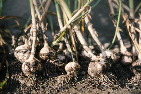 Heap of garlic heads. Healthy food from your own garden. Vegetables