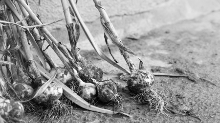 Heap of garlic heads. Healthy food from your own garden. Vegetables. Monochrome effect