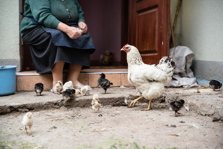 Old woman feeds the little chickens in the yard. Poultry. Ukraine