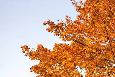 Colorful maple tree on the sky background, golden autumn, background