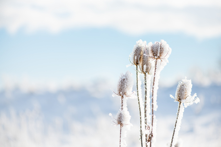 Snowy dry thistle plant. Nature in winter