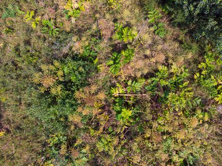 Invasive spreading plants. Giant Hogweed, also known as Heracleum or Cow Parsnip. Forms burns and blisters on skin. An acute problem. There is a fight against the spread of this plant in the UK and other European countries. Aerial top view