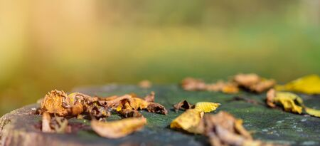 Fallen colorful leaves lie on old oak stump in the forest. Golden autumn. Natural background with copy space, banner format. Stockfoto