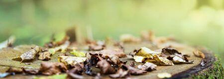 Fall. Fallen colorful leaves lie on old oak stump. Natural background, banner format.