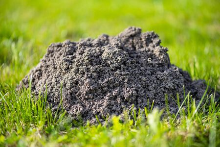 Molehills. Damaged lawn it is result of European Mole activity. This pest is also known as Talpa Europaea.