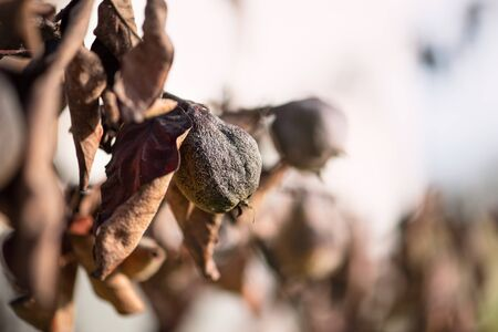 Withered tree with blackened and faded fruits and dried leaves. Risk of loss of trees and garden. The theme of garden care, pest control. Stockfoto