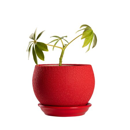 Small green flowerpot in red pot isolated on white background. Object isolated on white background with clipping path.