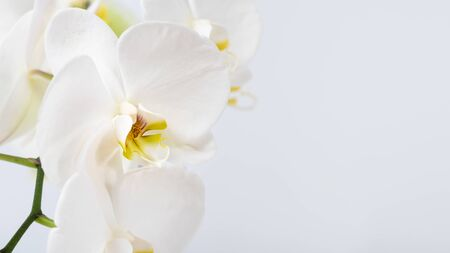 Beautiful and fragrant white orchidaceae close up. Orchid family flowering plant. Wide natural background with copy space