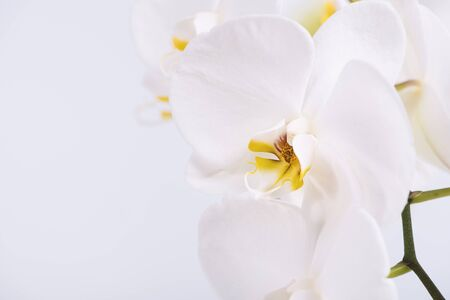 A beautiful and elegant white phalaenopsis orchid with fuchsia lips on a white background. Фото со стока