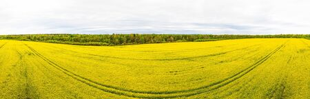 Yellow rapeseed field, green trees, overcast weather. Wide-angle agricultural landscape, springtime. Фото со стока