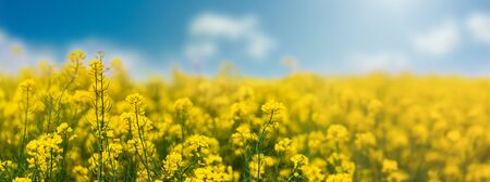 Yellow rapeseed field with blue sky, flowering plants close up. Color wide angle agricultural background with copy space.