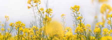 Yellow flowering rapeseed plants in the misty morning. Wide-angle agricultural background.