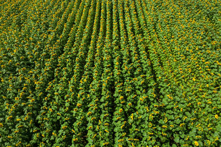Drone view of agricultural field with sunflowers planted in lines. Agriculture theme