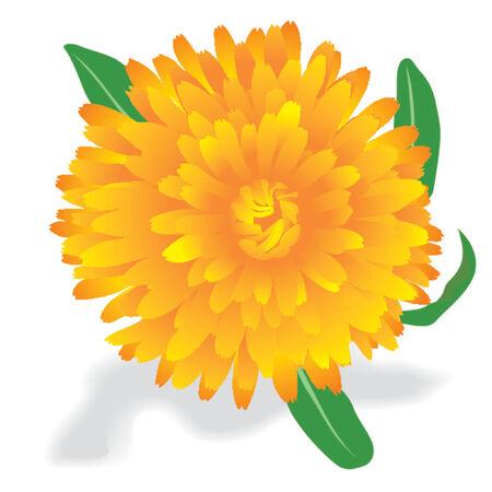 calendula: Marigold (Calendula oficinalis)