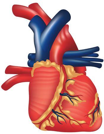 Corazón Humano Foto de archivo - 652015