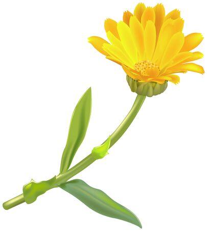 calendula: Marigold (Calendula oficinalis) 1