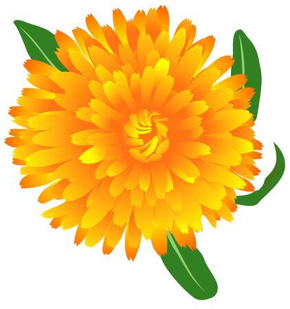 calendula: Marigold (Calendula oficinalis) 2