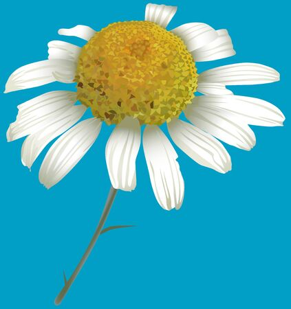 chamomilla: Chamomile (Matricaria chamomilla) 1 Stock Photo