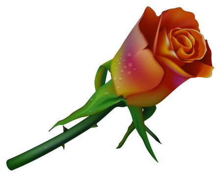 flowered: Rose 2-colors Stock Photo