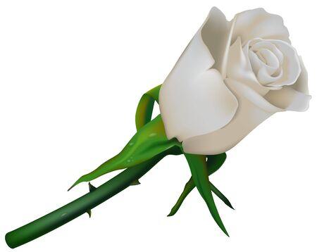 flowered: Wedding Rose White Stock Photo