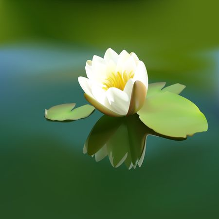 flowered: White water-lily