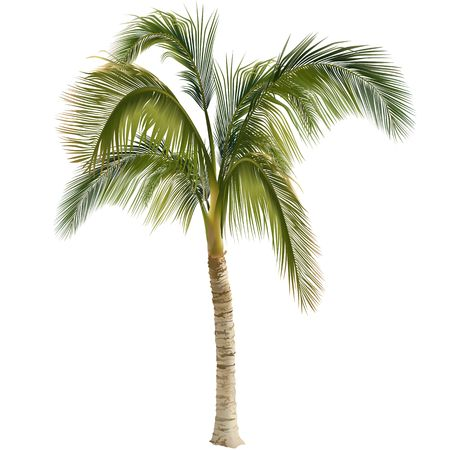 on palm tree: Palm tree - coloured illustration Stock Photo