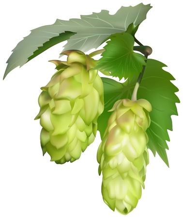 lupulus: Hop (Humulus lupulus) - colored illustration as vector Illustration