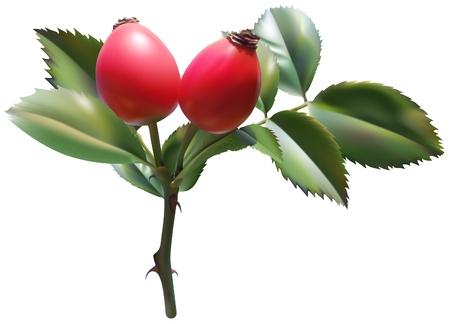 briar: Sweet Briar Rose - colored illustration as vector